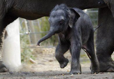 Kungliga elefantkalven Prince första bad